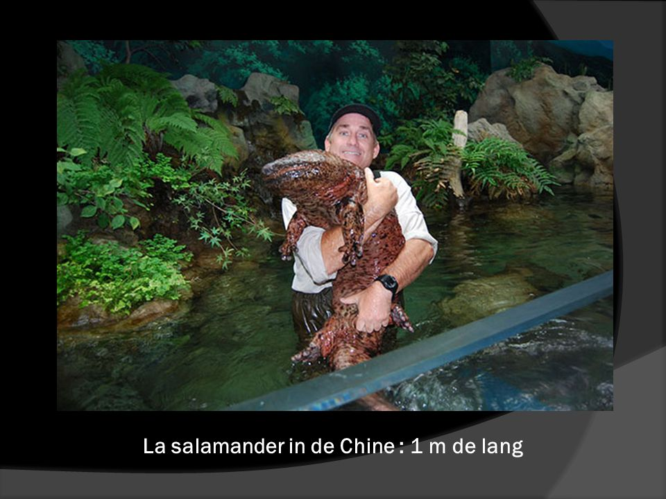 La salamander in de Chine : 1 m de lang
