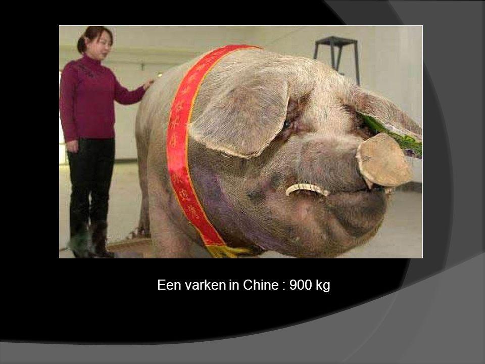 Een varken in Chine : 900 kg