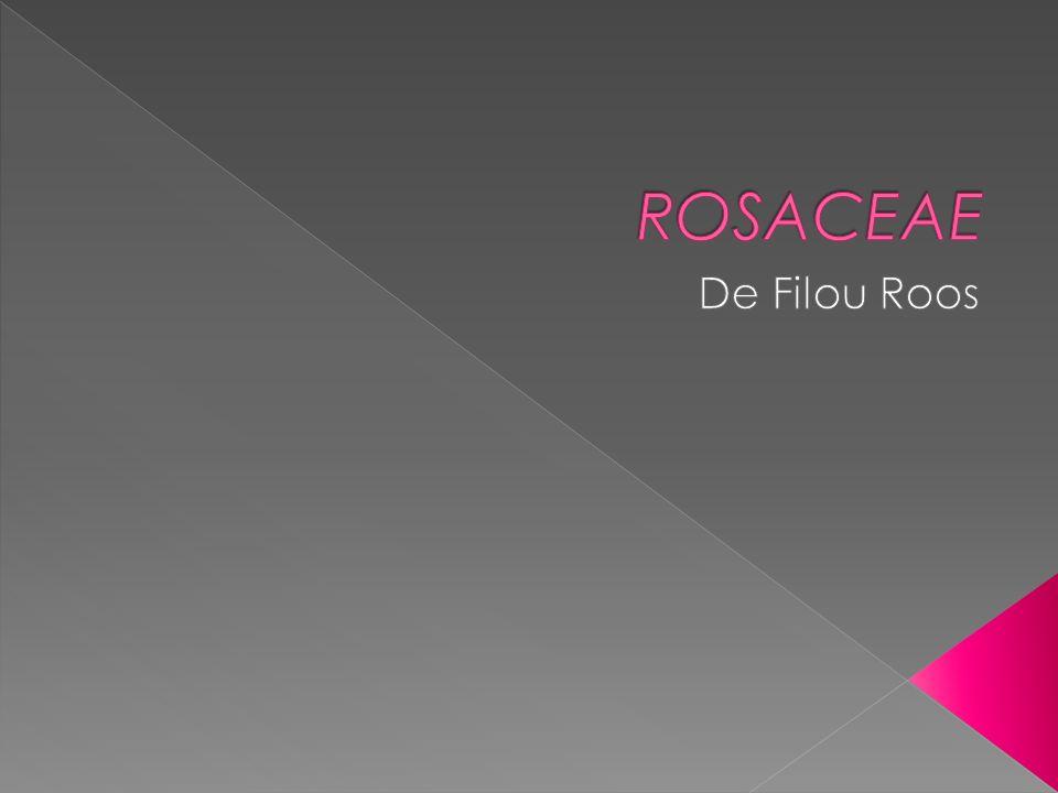 ROSACEAE De Filou Roos