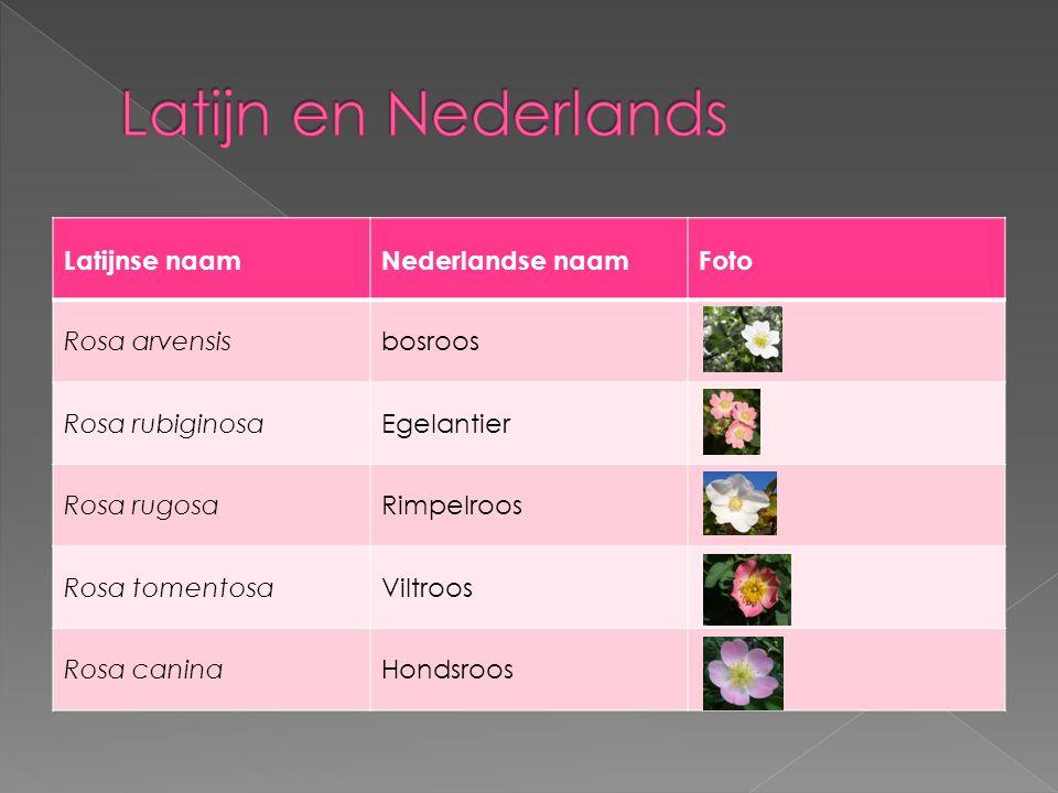 Latijn en Nederlands Latijnse naam Nederlandse naam Foto Rosa arvensis