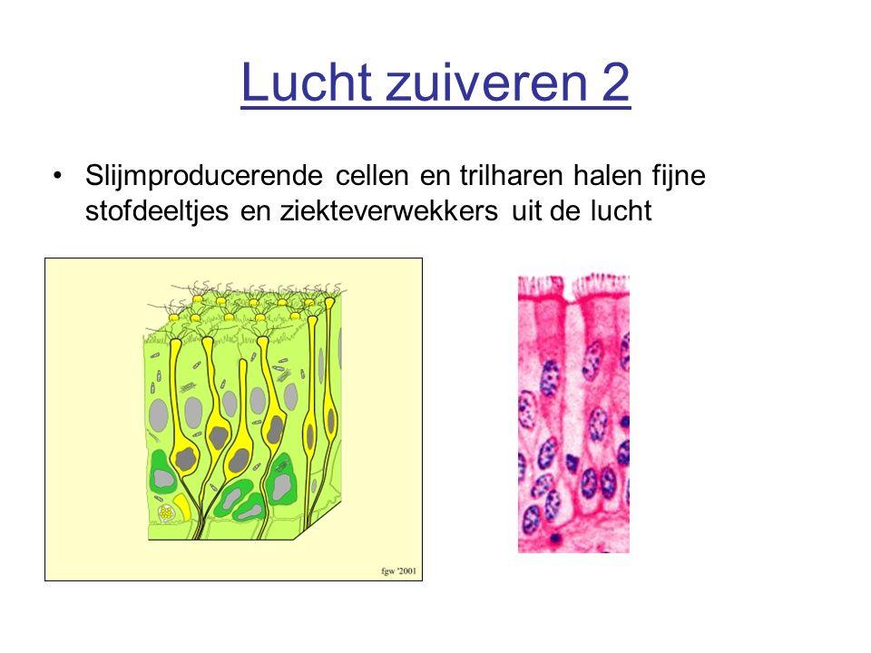 Lucht zuiveren 2 Slijmproducerende cellen en trilharen halen fijne stofdeeltjes en ziekteverwekkers uit de lucht.