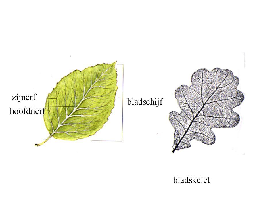 zijnerf bladschijf hoofdnerf bladskelet