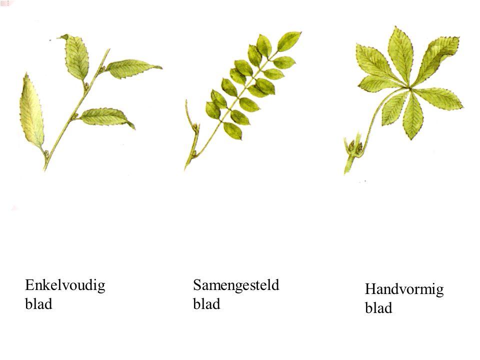 Enkelvoudig blad Samengesteld blad Handvormig blad