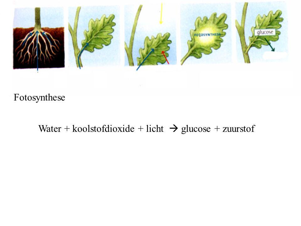 Fotosynthese Water + koolstofdioxide + licht  glucose + zuurstof