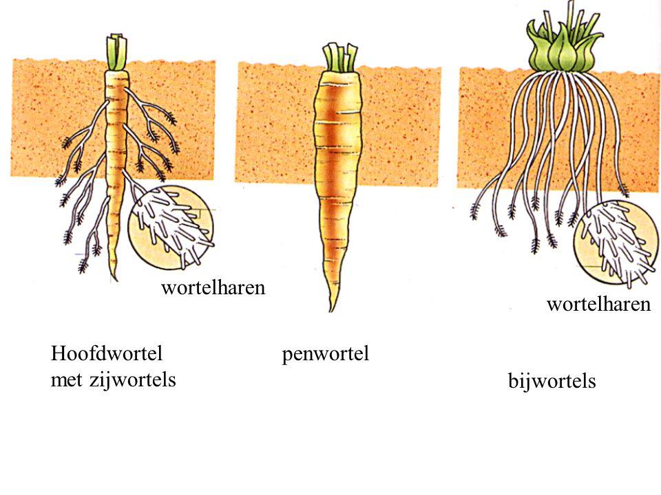 wortelharen wortelharen Hoofdwortel met zijwortels penwortel bijwortels