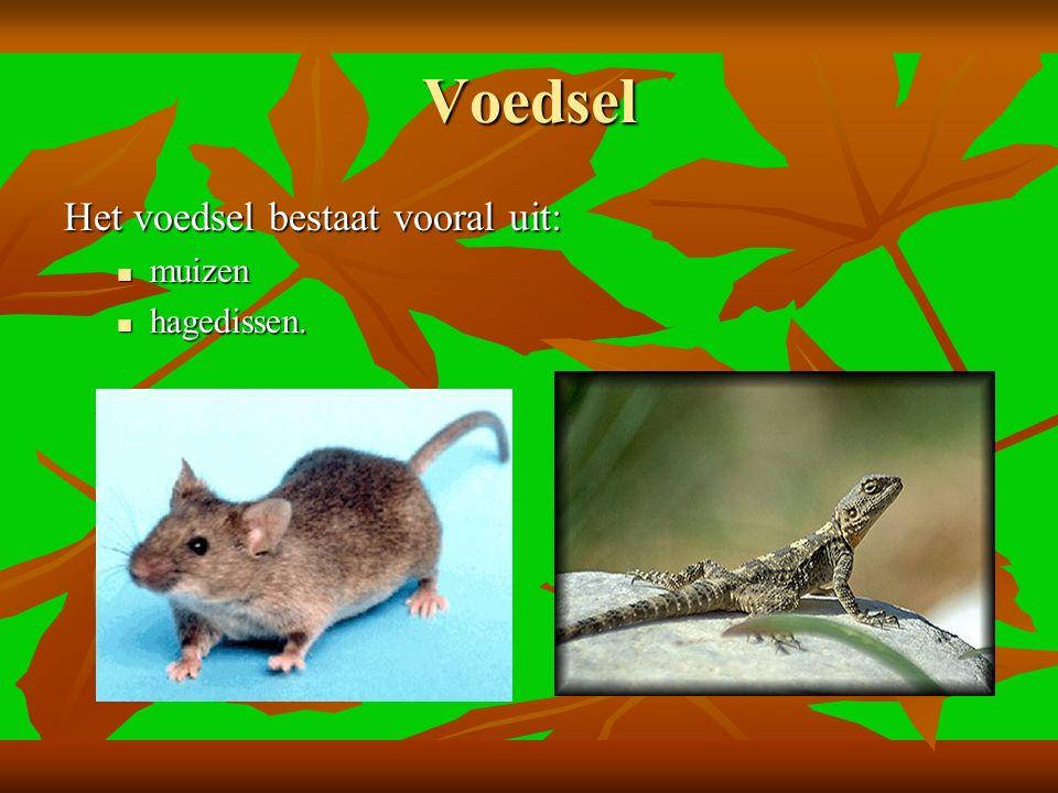 Voedsel Het voedsel bestaat vooral uit: muizen hagedissen.