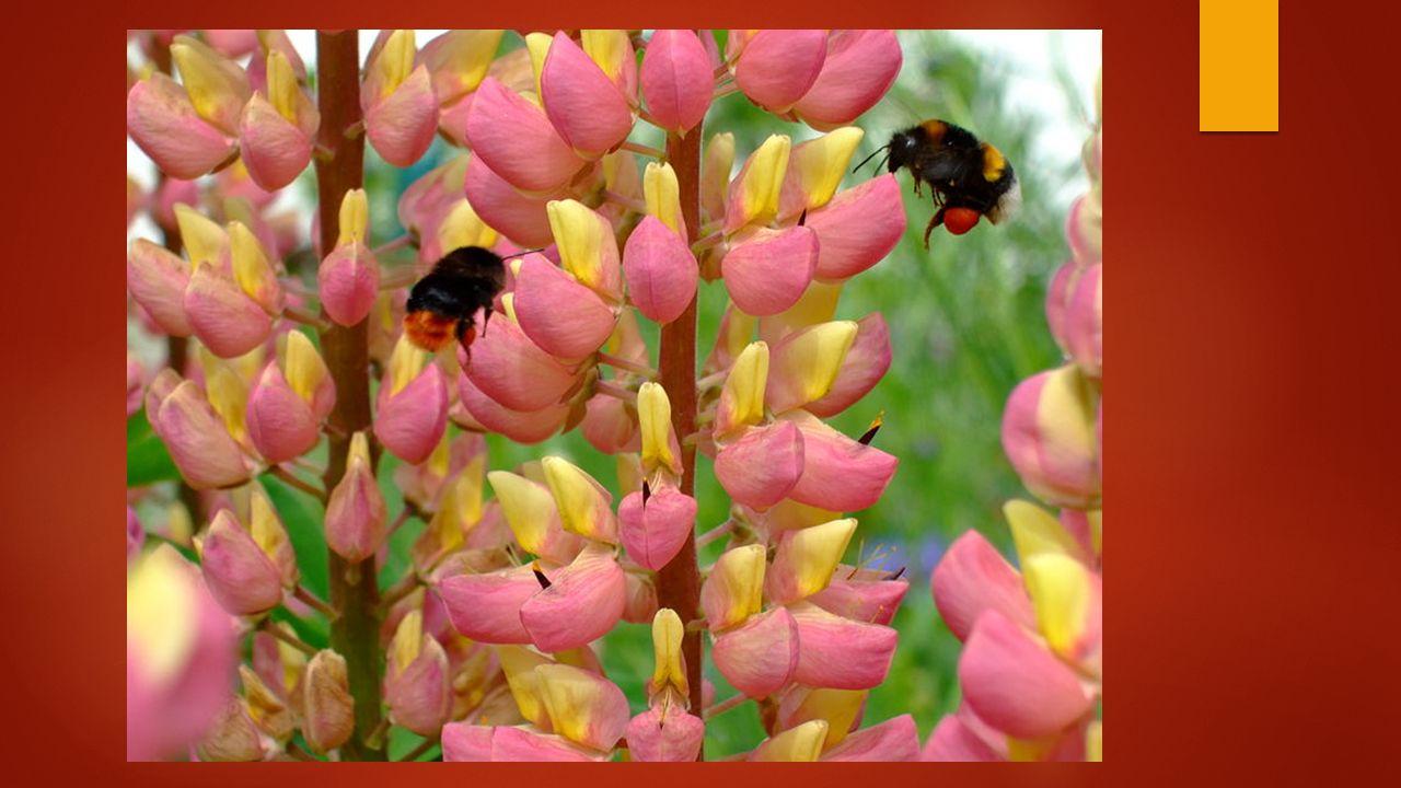 Lupine (vlinderbloemige)
