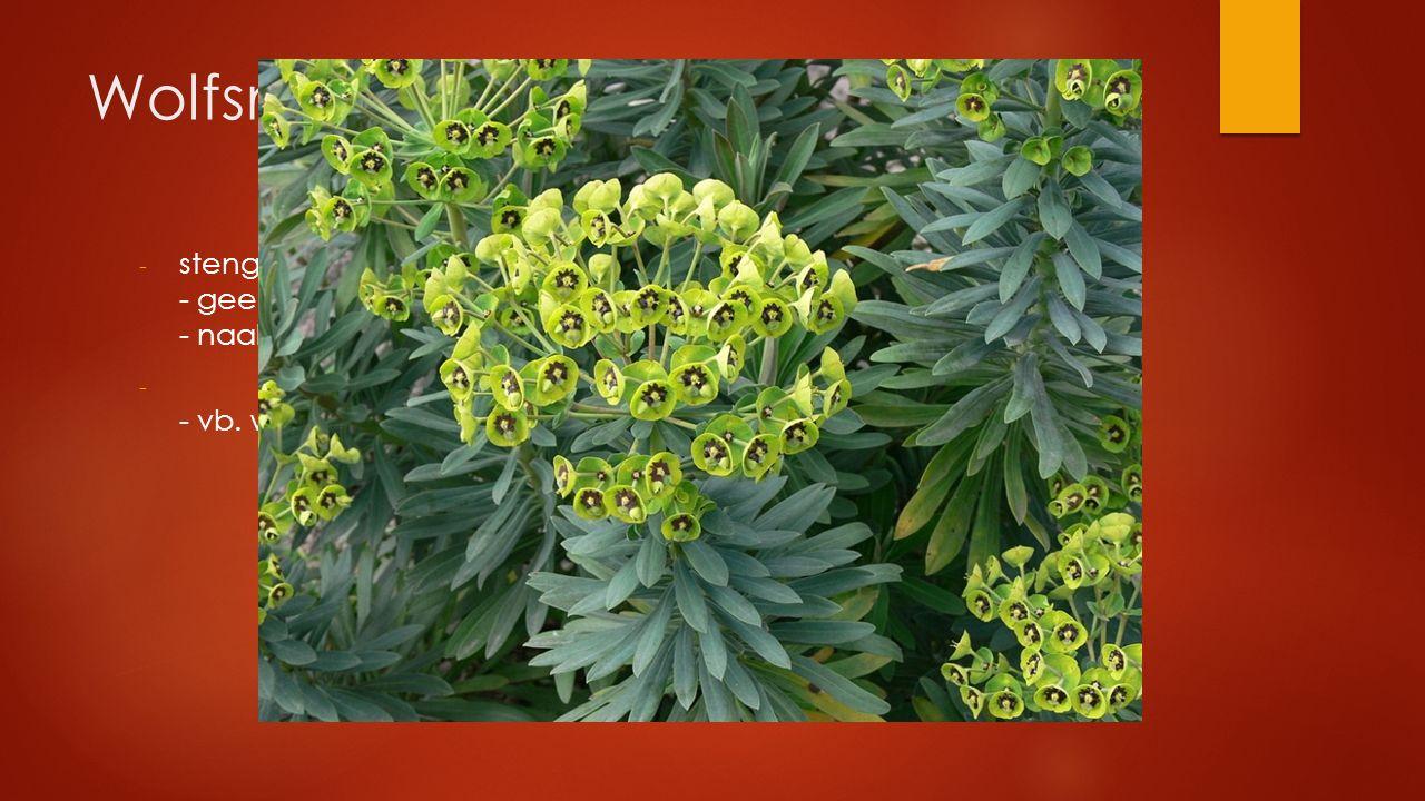 Wolfsmelkfamilie stengel met melksap - geel/groen - naakte bloemen in schermbloemachtige bloeiwijze.
