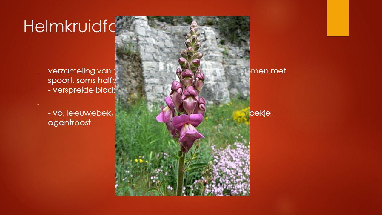 Helmkruidfamilie verzameling van veel soorten met o.a. 2-lippige bloemen met spoort, soms halfparasieten - verspreide bladstand.
