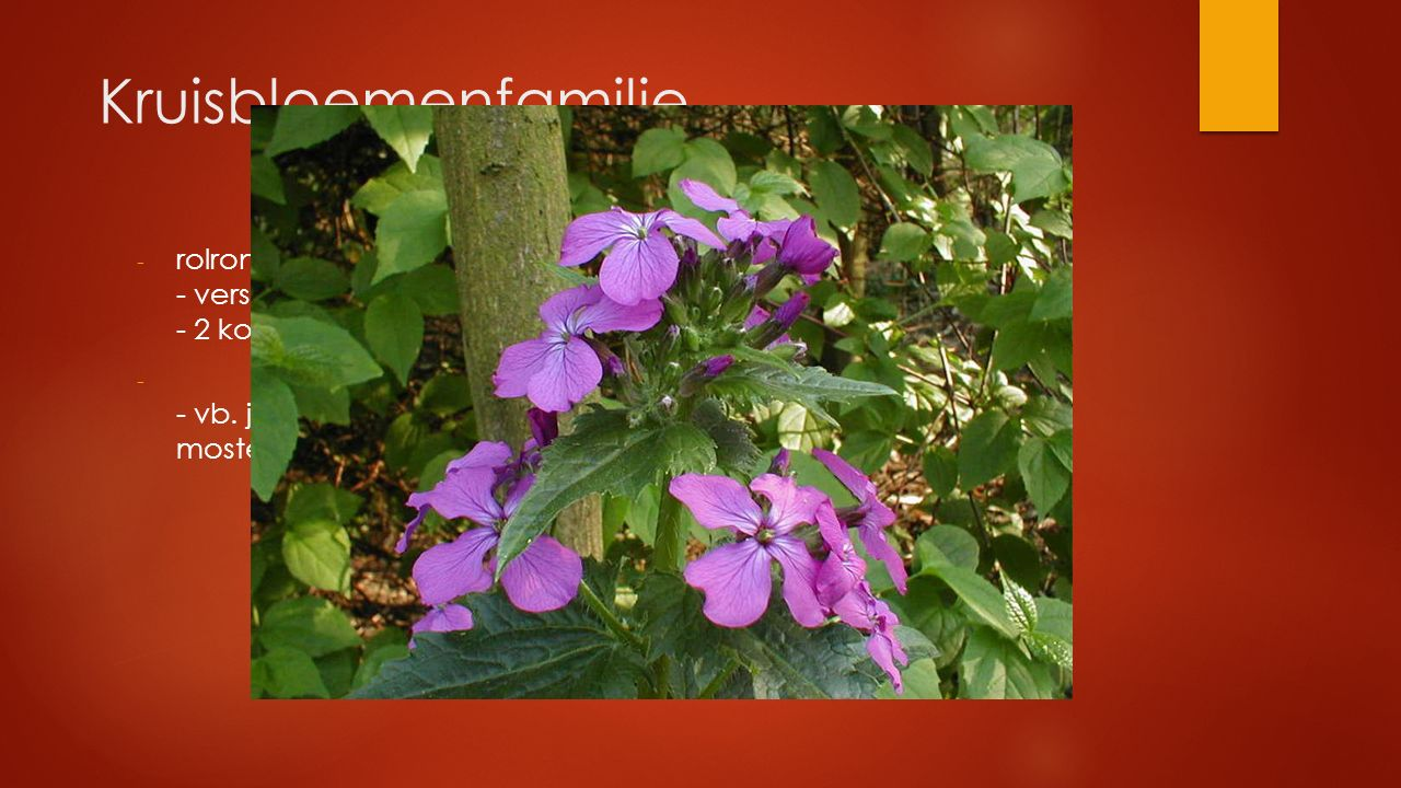 Kruisbloemenfamilie rolronde stengel - verspreide bladstand - 2 korte en 4 lange meeldraden.