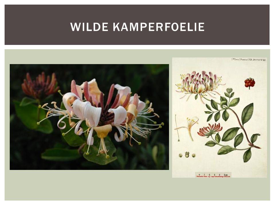 Wilde kamperfoelie