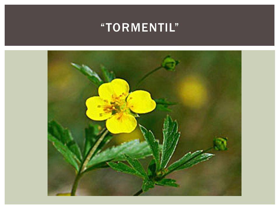 tormentil