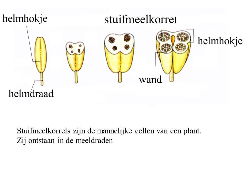 stuifmeelkorrel helmhokje helmhokje wand helmdraad
