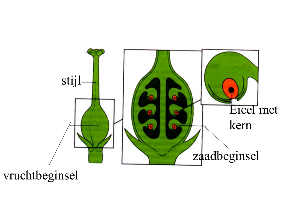 stijl Eicel met kern zaadbeginsel vruchtbeginsel