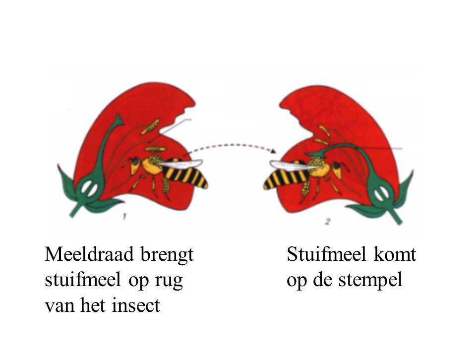 Meeldraad brengt stuifmeel op rug van het insect