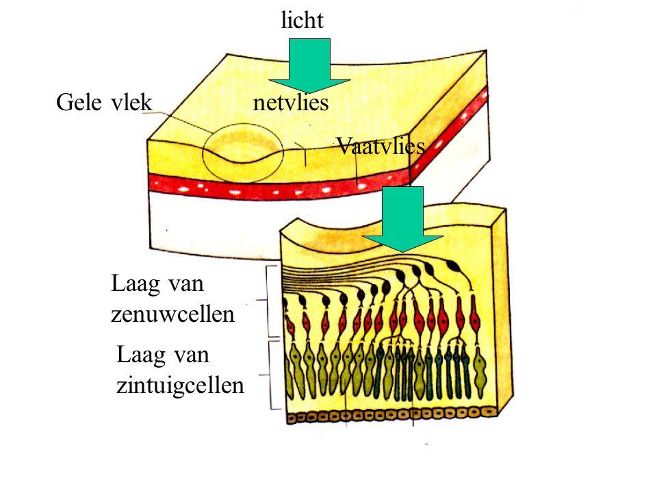 licht Gele vlek netvlies Vaatvlies Laag van zenuwcellen Laag van zintuigcellen
