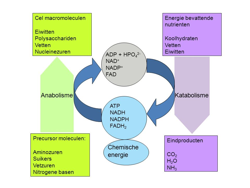 Anabolisme Katabolisme Chemische energie Cel macromoleculen Eiwitten