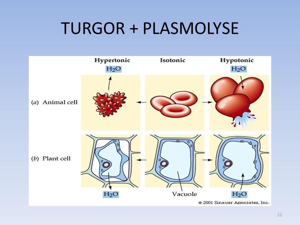 TURGOR + PLASMOLYSE