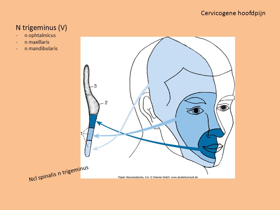 N trigeminus (V) Cervicogene hoofdpijn Ncl spinalis n trigeminus