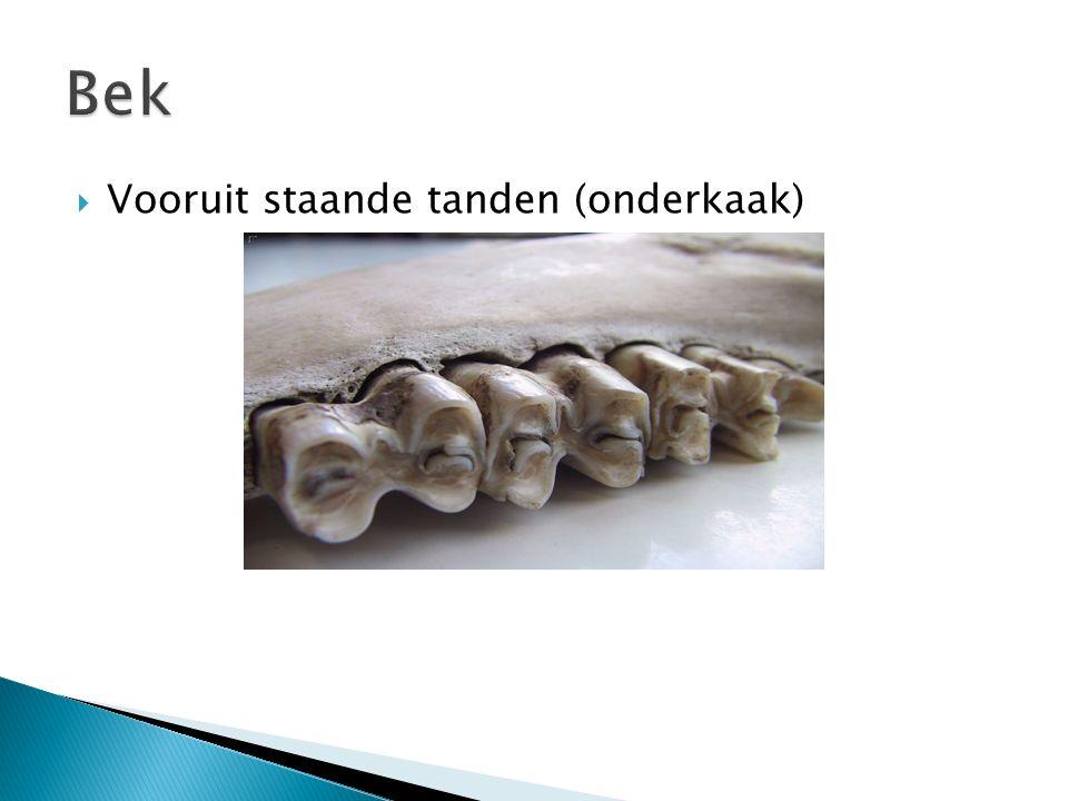Bek Vooruit staande tanden (onderkaak)