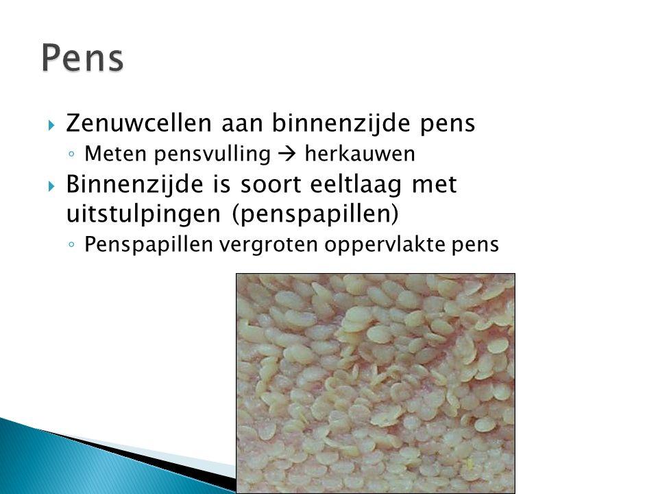 Pens Zenuwcellen aan binnenzijde pens