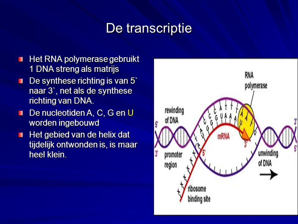 De transcriptie Het RNA polymerase gebruikt 1 DNA streng als matrijs