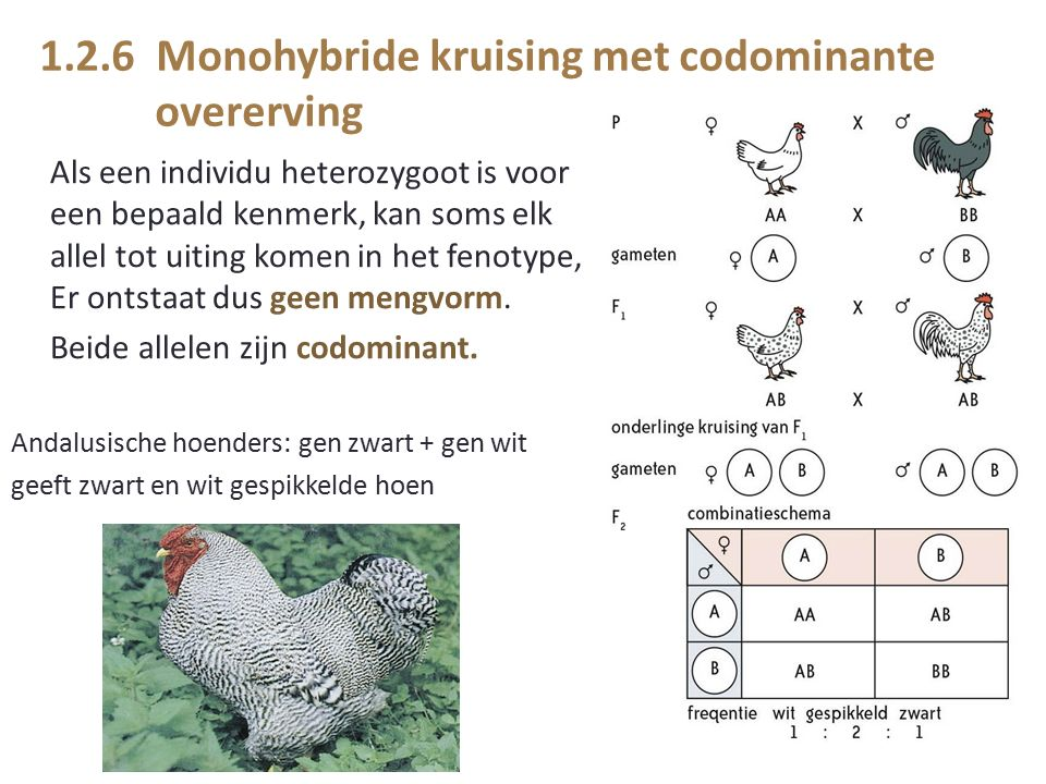 1.2.6 Monohybride kruising met codominante overerving