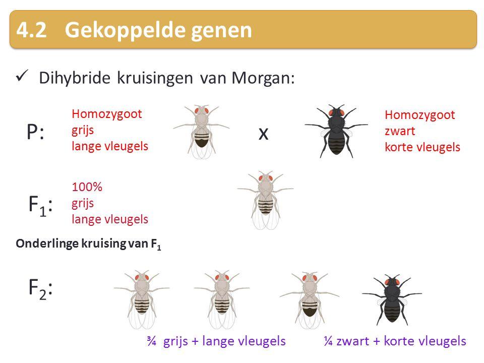 4.2 Gekoppelde genen P: x F1: F2: Dihybride kruisingen van Morgan: