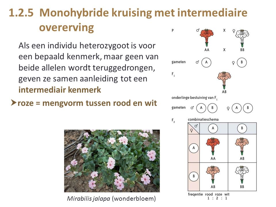 1.2.5 Monohybride kruising met intermediaire overerving