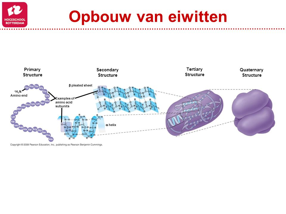 Opbouw van eiwitten Primary Structure Secondary Structure Tertiary