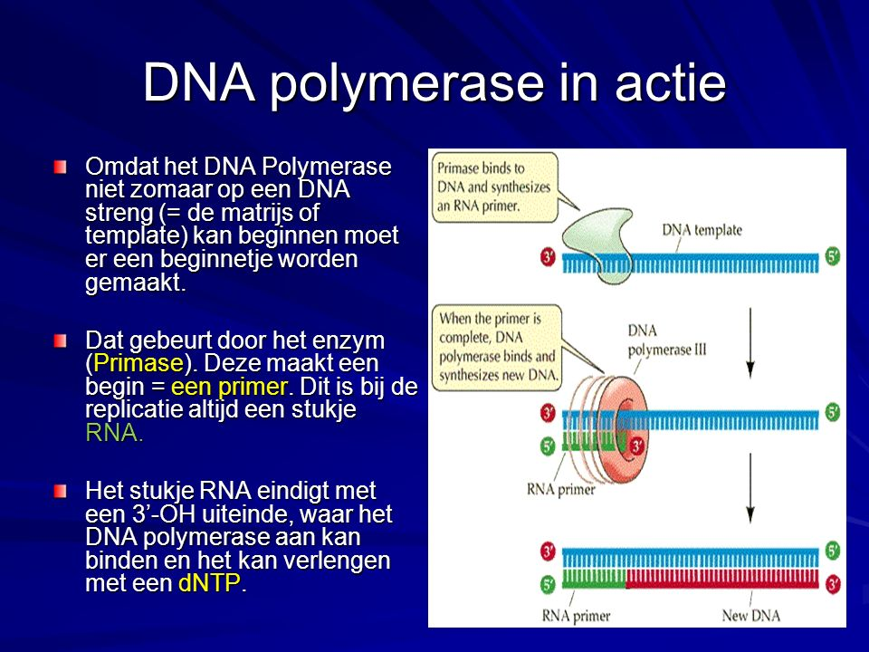 DNA polymerase in actie