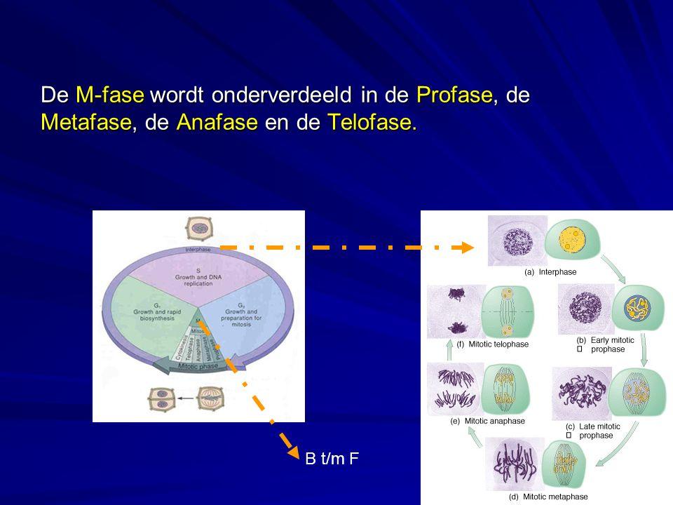 De M-fase wordt onderverdeeld in de Profase, de Metafase, de Anafase en de Telofase.