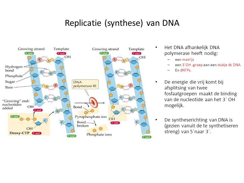 Replicatie (synthese) van DNA