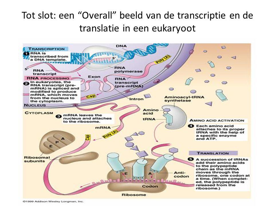 Tot slot: een Overall beeld van de transcriptie en de translatie in een eukaryoot