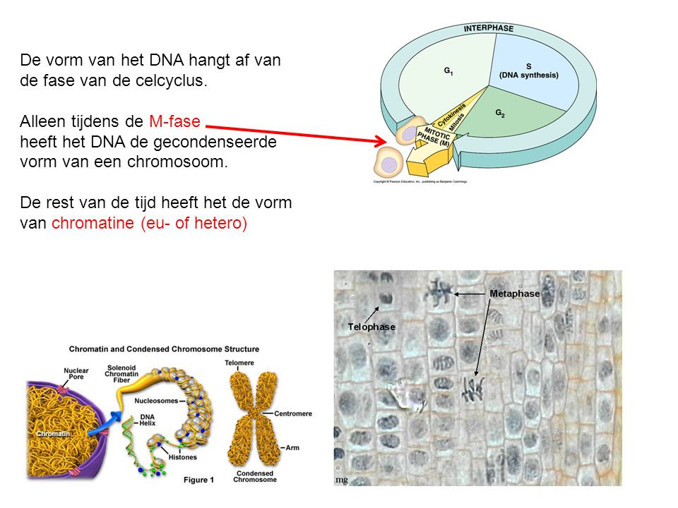 De vorm van het DNA hangt af van de fase van de celcyclus.