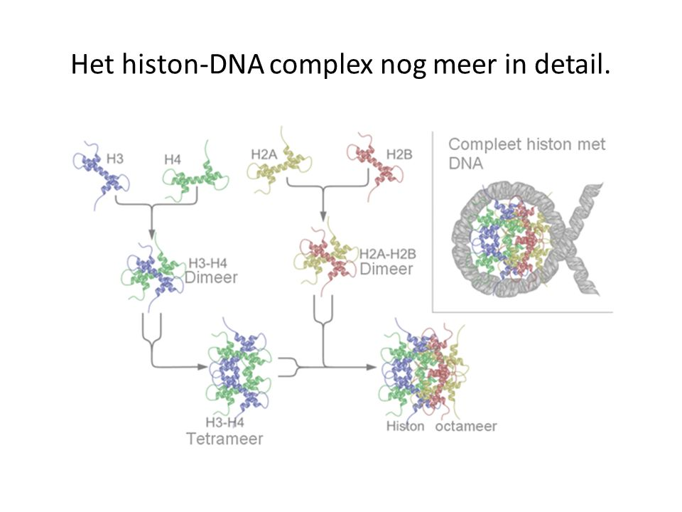 Het histon-DNA complex nog meer in detail.