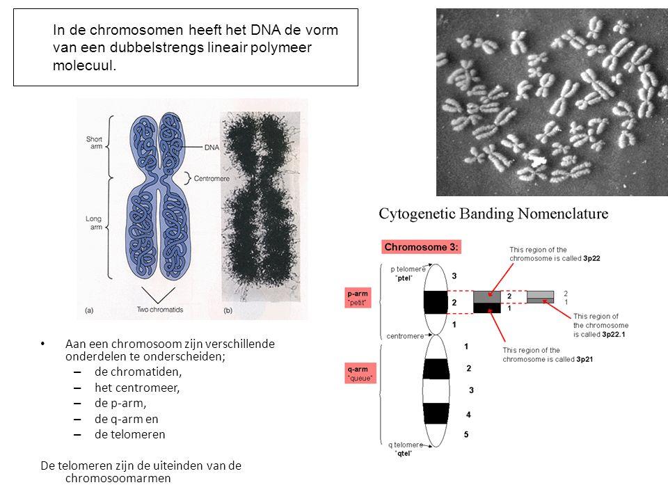 In de chromosomen heeft het DNA de vorm