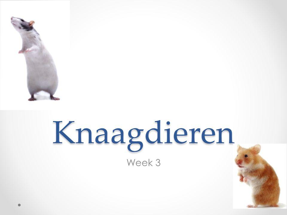 Knaagdieren Week 3