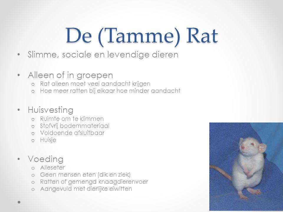 De (Tamme) Rat Slimme, sociale en levendige dieren