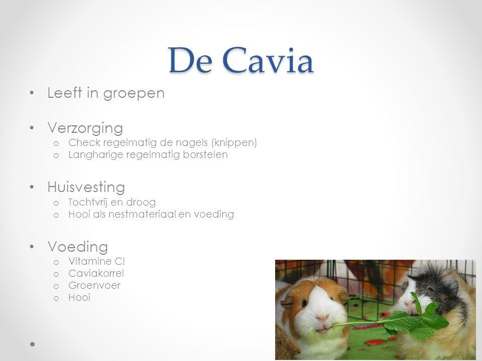 De Cavia Leeft in groepen Verzorging Huisvesting Voeding