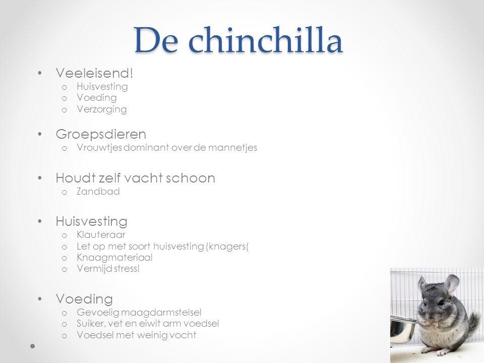 De chinchilla Veeleisend! Groepsdieren Houdt zelf vacht schoon