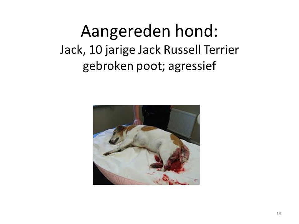 Aangereden hond: Jack, 10 jarige Jack Russell Terrier gebroken poot; agressief