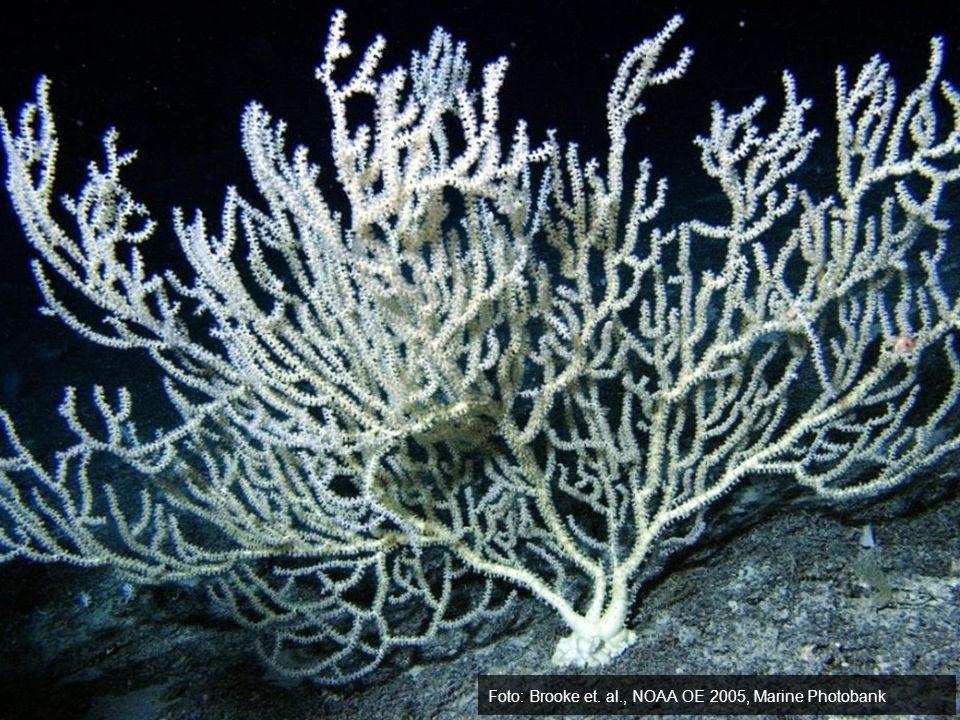 Foto: Brooke et. al., NOAA OE 2005, Marine Photobank