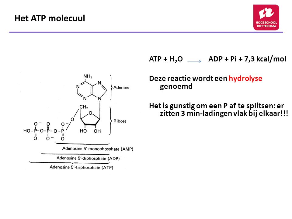 Het ATP molecuul ATP + H2O ADP + Pi + 7,3 kcal/mol