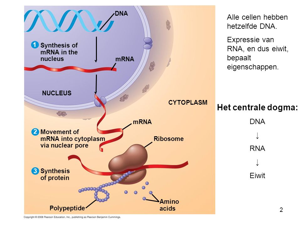 Het centrale dogma: Alle cellen hebben hetzelfde DNA.