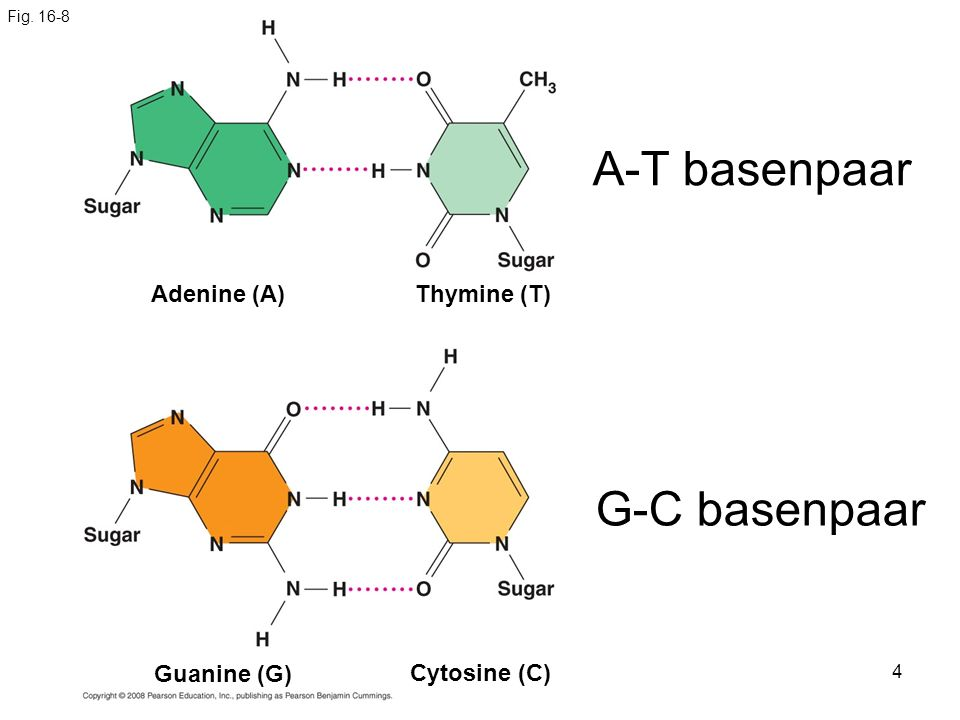 A-T basenpaar G-C basenpaar Adenine (A) Thymine (T) Guanine (G)