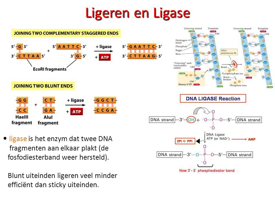 Ligeren en Ligase ligase is het enzym dat twee DNA