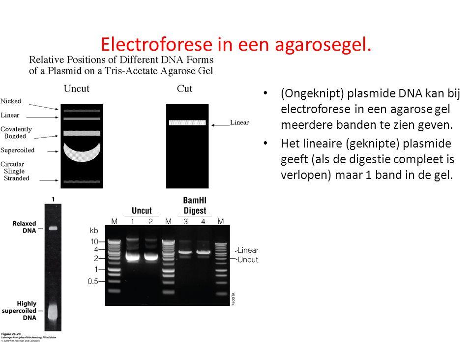 Electroforese in een agarosegel.