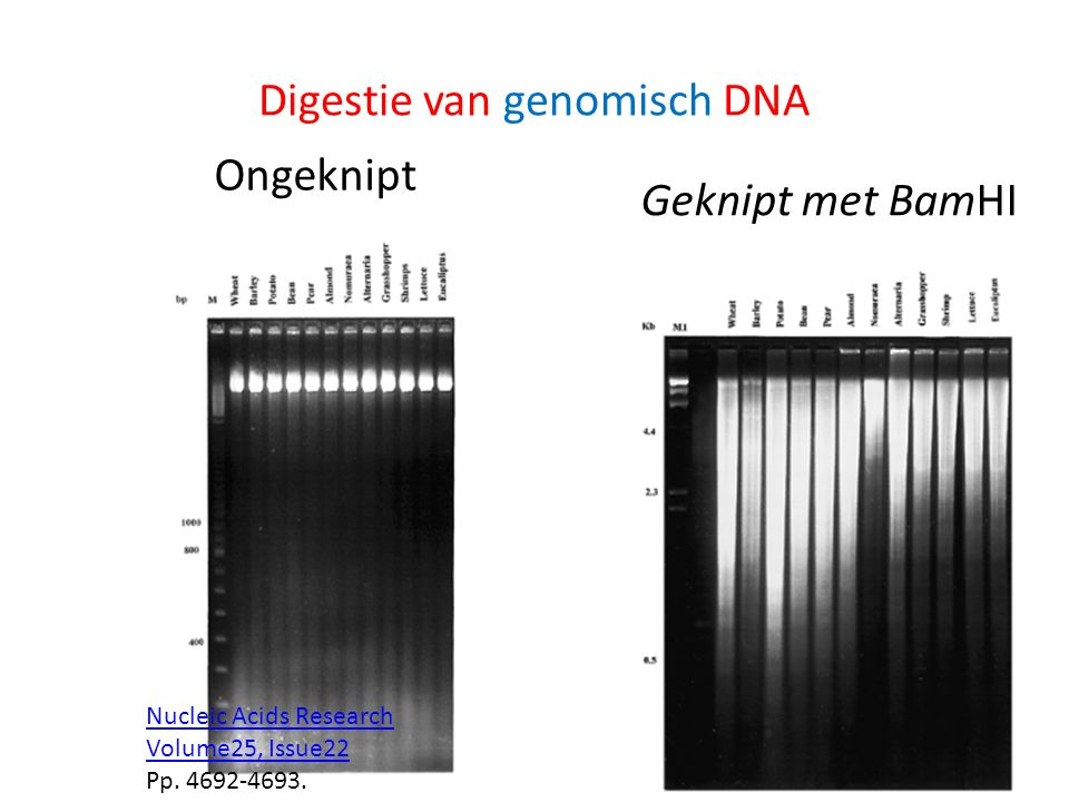 Digestie van genomisch DNA