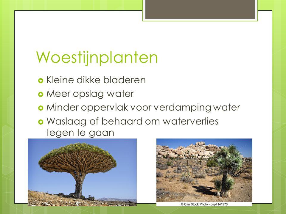 Woestijnplanten Kleine dikke bladeren Meer opslag water